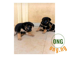 5 weeks GSD puppies for sale