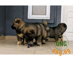 6 weeks old Caucasian Puppies for sale