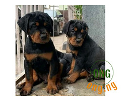 Pure breed rotweiler puppies for sale