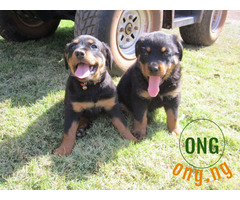 PURE AND CUTE ROTTWEILER