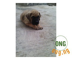CUTE AND PURE BULLMASTIFF DOGS/PUPPIES