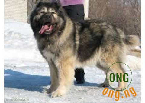 Caucasian dogs for sale