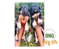 5weeks old Gsd available for sale