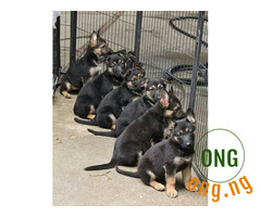 6weeks old Gsd available for sale
