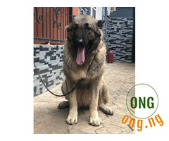 Pure breed Adult Caucasian dog for sale