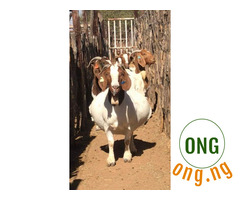 Boar and Kalahari red goats for sale