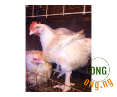 Mature Broilers Chicken