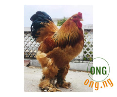 Hybrid Brahman chicken for sale