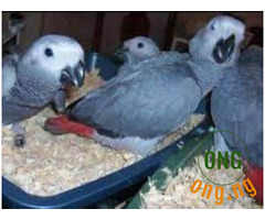 African Grey parrots available for sale