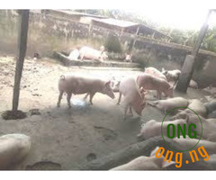 large White pigs and Duro's pigs