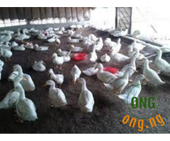 Foreign ducks for sale