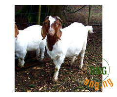 Kalahari red goats