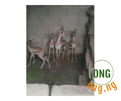 Antelopes for sale