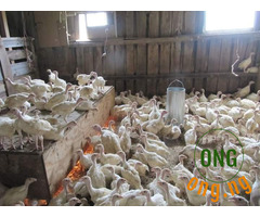 Foreign turkey available