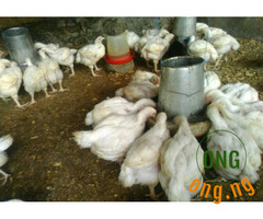 Christmas Broilers for Sale N3000