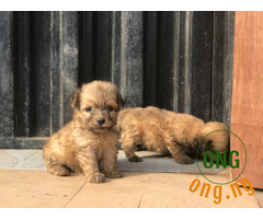 Pure breed LhasA apso puppies for sale
