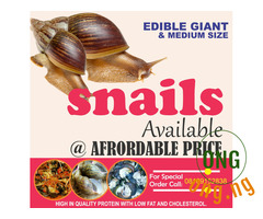 EDIBLE GIANT and MEDIUM SIZE SNAILS AVAILABLE