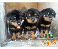 6 weeks Rottweiler Puppy available for sale
