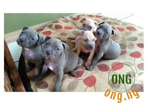Six weeks old Pure breed Pitbull Puppy for Sale