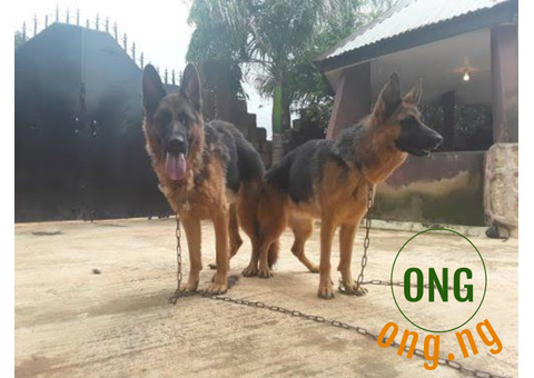 4 Months old Male and Female GSD For Sale.