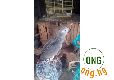 African Grey Parrot Talking Parrot For Sale