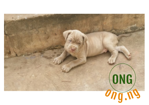 NEAPOLITAN MASTIFF PUPPIES FOR SALE FOR THE AVAILABLE ONE