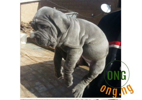 neapolitan mastiff puppies For sale urgent call only
