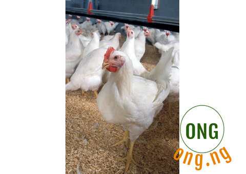Poultry birds( life chicken) for sale