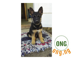 6 weeks old German Shepherd Puppy Available for Sale