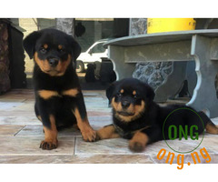 6 weeks old Rottweiler Puppy Available for Sale