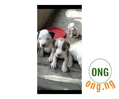 6 weeks old Pitbull Puppy Available for Sale