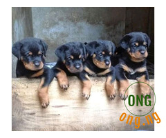 7 weeks old Rotweiller Puppy Available for Sale
