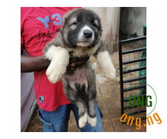 Purebreed Caucasian puppies available for sale