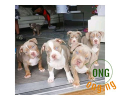 6 weeks old Pitbull For Sale