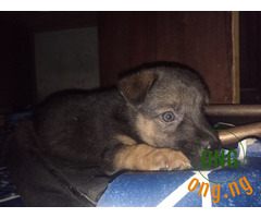 Wicked male gsd puppy