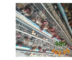 Sale of layers , cockerels , noilers,eggs and broilers