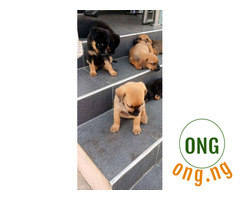 5 weeks old Boerboel Puppy available for new home
