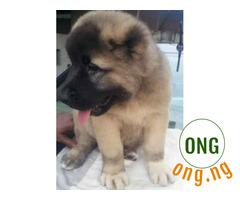 Pure bred chow chow puppy