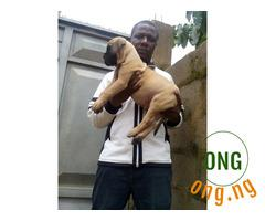 Beautiful boerboel puppies available